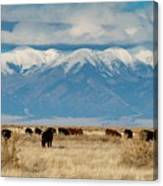 San Luis Valley And Cattle Canvas Print