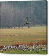Sand Hill Crane Migration Canvas Print