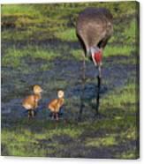 Sandhill Crane And Babies Canvas Print