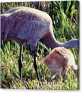 Sandhill Crane And Chick Canvas Print