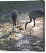Sandhill Crane Family In Morning Sunshine Canvas Print