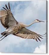 Sandhill Crane In Flight Canvas Print