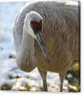 Sandhill Crane In Winter Canvas Print