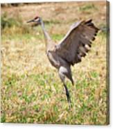 Sandhill Crane Morning Stretch Canvas Print