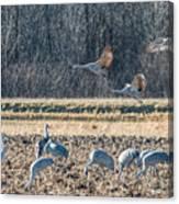 Sandhill Crane Series #3 Canvas Print