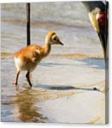 Sandhill Crane With Chick Canvas Print