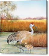 Sandhill Cranes-jp3162 Canvas Print
