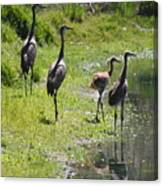 Sandhill Family By The Pond Canvas Print