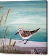 Sandpiper And Conch Canvas Print