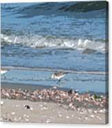Sandpipers And Seashells - Poster Canvas Print