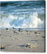 Sandpipers Running Everywhere Canvas Print