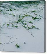 Sandscape Vines Canvas Print