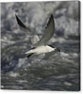 Sandwhich Tern Flies Over Stormy Waves Canvas Print
