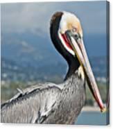 Santa Barbara Brown Pelican Canvas Print