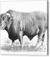 Santa Gertrudis Bull Canvas Print