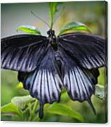Sapphire Blue Swallowtail Butterfly Canvas Print