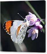 Sara Orange-tip On Wild Hyacinth Canvas Print