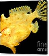 Sargassum Anglerfish Canvas Print