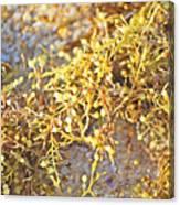Sargassum Seaweed Canvas Print