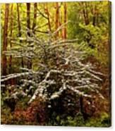 Sargent Crabapple Tree Canvas Print