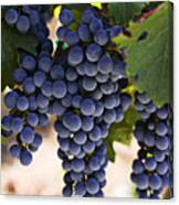 Sauvignon Grapes Canvas Print