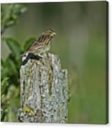 Savannah Sparrow.. Canvas Print