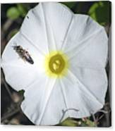 Sawfly On A Beach Morning Glory Flower Canvas Print