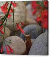 Scarlet Bugler Blossoms On Rocks Canvas Print
