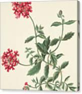 Scarlet Flowered Vervain Canvas Print