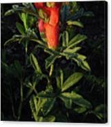 Scarlet Globemallow Canvas Print