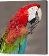 Scarlet Macaw - 2 Canvas Print