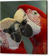 Scarlet Macaw Ara Macao Pair Kissing Canvas Print