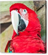 Scarlet Macaw Face Canvas Print