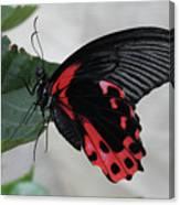 Scarlet Mormon Butterfly #2 Canvas Print