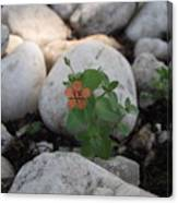 Scarlet Pimpernel Flower Canvas Print