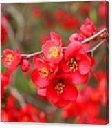 Scarlet Quince Blooms Canvas Print