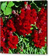Scarlet Snapdragons At Pilgrim Place In Claremont-california  Canvas Print