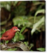 Scarlet Tanager In Costa Rica Canvas Print