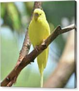 Scenic View Of An Adorable Yellow Parakeet Canvas Print