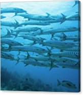 School Of Barracudas Underwater Canvas Print