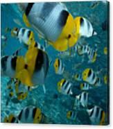 School Of Butterflyfish Canvas Print
