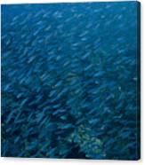 School Of Fish On Mas Bango Reef In Aruba Canvas Print