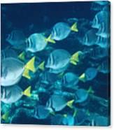 School Of Surgeonfish Cruising Reef Canvas Print