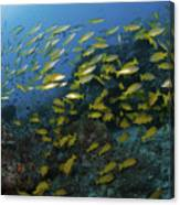 School Of Yellow Snapper, Great Barrier Canvas Print