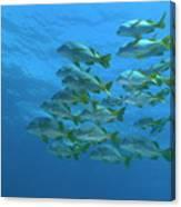 School Of Yellowtail Grunt Underwater Canvas Print