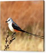 Scissor-tailed Flycatcher Canvas Print