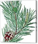 Scots Pine, Pinus Silvestris Canvas Print