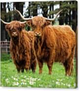 Scottish Highland Cows Canvas Print