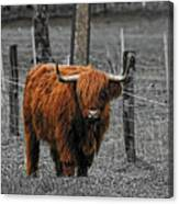 Scottish Highlander Canvas Print