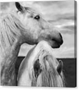 Scottish Horses Canvas Print